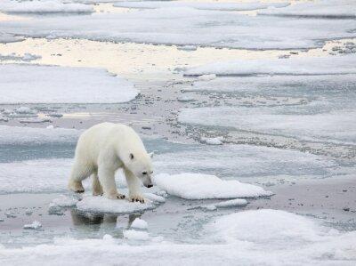 Canvas print Polar bear in natural environment