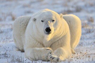 Canvas print Polar bear lying at tundra.