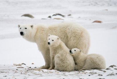 Canvas print Polar bear with a cubs in the tundra. Canada. An excellent illustration.