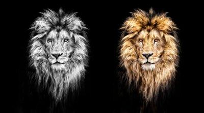 Canvas print Portrait of a Beautiful lion, lion in the dark, oil paints