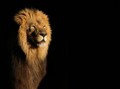 Canvas print Portrait of a big male African lion (Panthera leo) against a black background, South Africa.