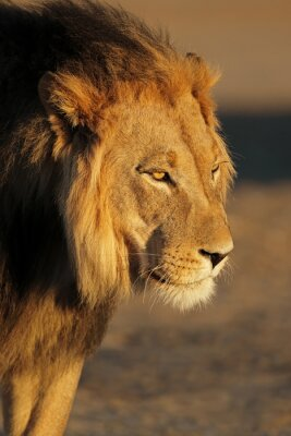 Portrait of a big male African lion (Panthera leo) in late afternoon light, Kalahari desert, South Africa.