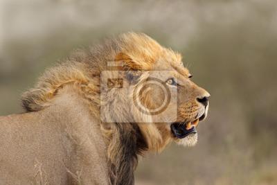 Portrait of a big male African lion (Panthera leo), Kalahari desert, South Africa