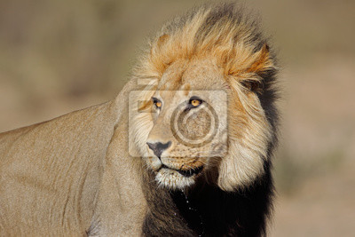 Portrait of a big male African lion (Panthera leo), Kalahari desert, South Africa.