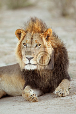 Portrait of a big male African lion (Panthera leo), South Africa.