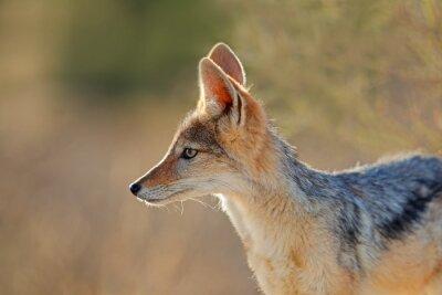 Portrait of a black-backed jackal (Canis mesomelas) in early morning light, Kalahari desert, South Africa.
