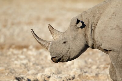 Portrait of a black rhinoceros (Diceros bicornis), Etosha National Park, Namibia.