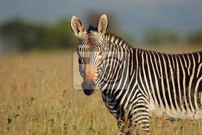 Portrait of a Cape mountain zebra (Equus zebra), Mountain Zebra National Park, South Africa.