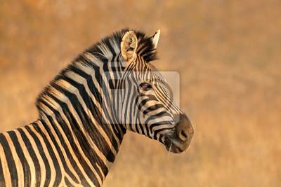 Portrait of a Plains (Burchells) Zebra (Equus burchelli), South Africa.