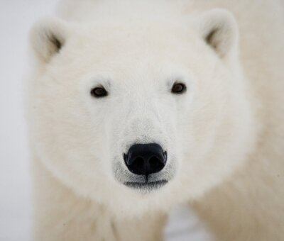 Canvas print Portrait of a polar bear. Close-up. Canada. An excellent illustration.