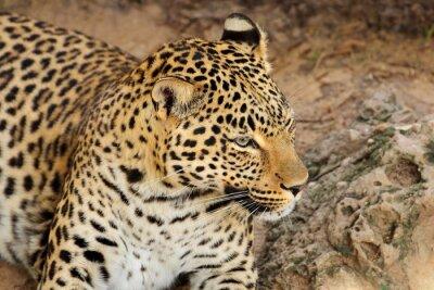 Portrait of a resting leopard (Panthera pardus), South Africa.
