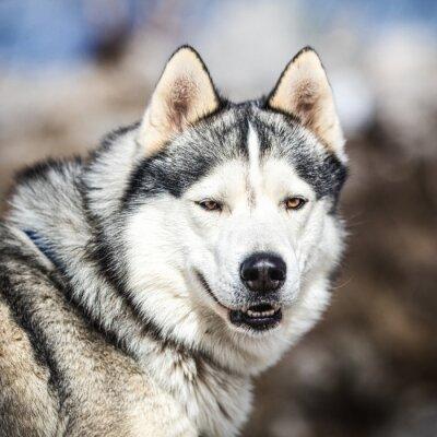 Canvas print Portrait of a sled dog, Husky dog