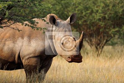 Portrait of a white rhinoceros (Ceratotherium simum) in natural habitat, South Africa.