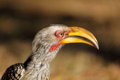 Portrait of a yellow-billed hornbill (Tockus flavirostris), Kruger National Park, South Africa.