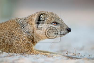 Portrait of a yellow mongoose (Cynictus penicillata), Kalahari desert, South Africa.