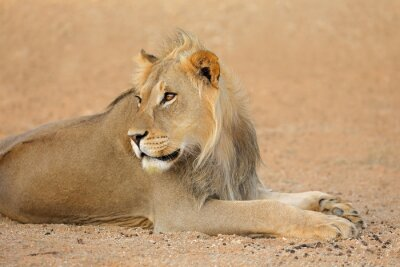 Portrait of a young male African lion (Panthera leo), Kalahari desert, South Africa.