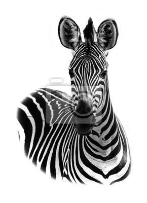 Portrait of a zebra with a white background