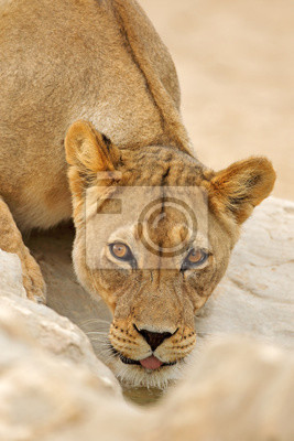 Portrait of an African lioness (Panthera leo), drinking water, Kalahari desert, South Africa.