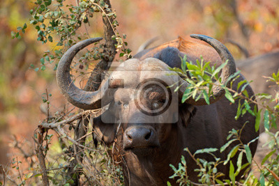 Portrait of an African or Cape buffalo (Syncerus caffer), Kruger National Park, South Africa.