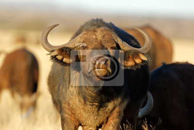 Portrait of an African or Cape buffalo (Syncerus caffer), Mokala National Park, South Africa.