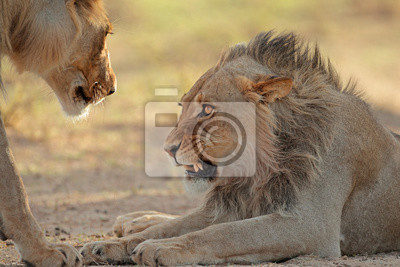 Portrait of an aggressive male African lion (Panthera leo), Kalahari desert, South Africa.