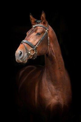 Canvas print Portrait of bay stallion on black background