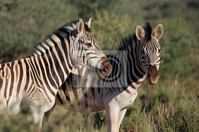 Portrait of two plains (Burchells) zebras (Equus burchelli), South Africa.