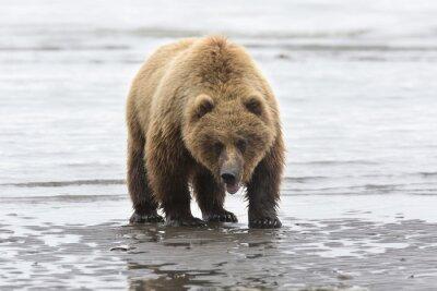 Canvas print Portrait of wild free roaming brown bear
