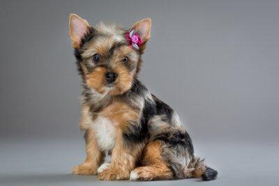 Canvas print puppy Yorkshire terrier