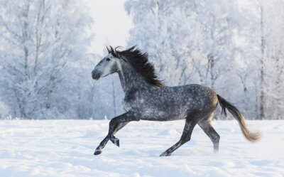 Canvas print Purebred horse galloping across a winter snowy meadow