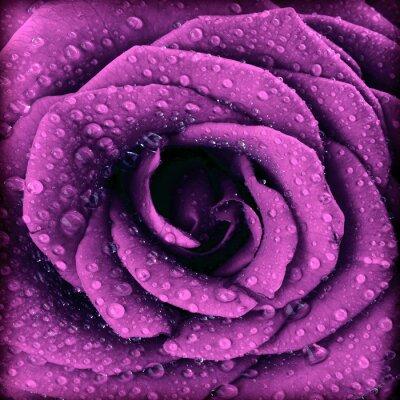 Canvas print Purple dark rose background