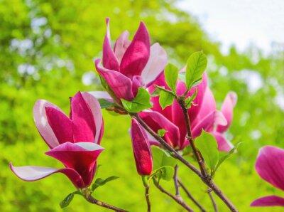 Canvas print Purple magnolia flower on a branch background