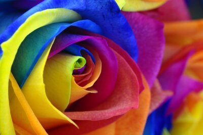 Canvas print Rainbow rose or happy flower