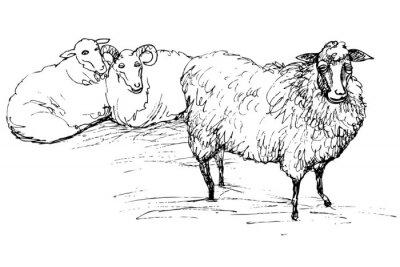 Canvas print Ram and sheep