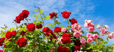Canvas print Red and pink climbing roses.