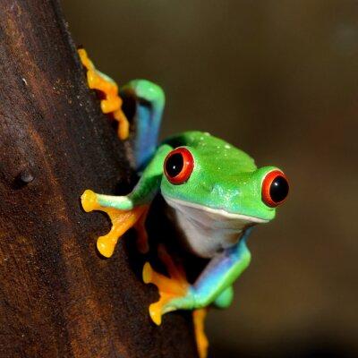 Canvas print red-eye frog  Agalychnis callidryas in terrarium
