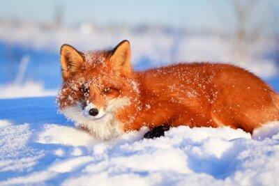 Canvas print red fox