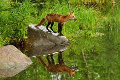Canvas print Red Fox and water reflection surrounded by green.