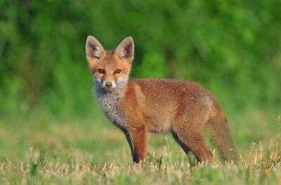 Canvas print Red fox cub