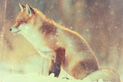 Canvas print red fox in winter forest Pretty