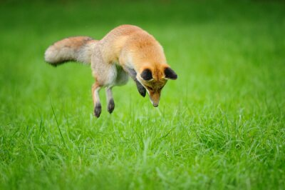 Canvas print Red fox on hunt when mousing in grass from front side view