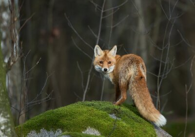 Canvas print Red fox on the mossy rock, looking straight in the lens,, Czech Republic, Europe