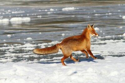 Canvas print red fox running on ice