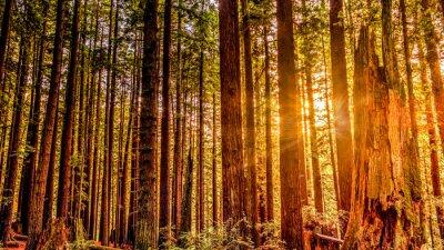 Canvas print Redwood Sun