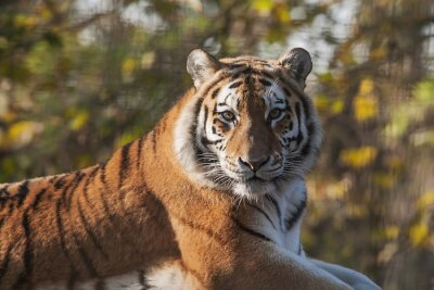 Canvas print Resting Indian Tiger