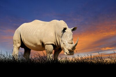 Canvas print Rhino on the background of sunset sky