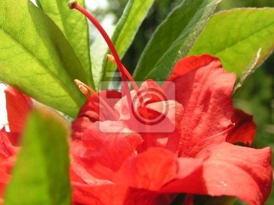 rhododendron-red flower