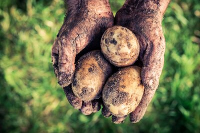 Canvas print Ripe potatoes in hands