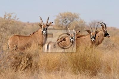 roan antelopes