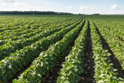 Canvas print Rows of young soybean plants